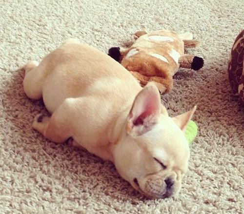 狗狗趴着睡