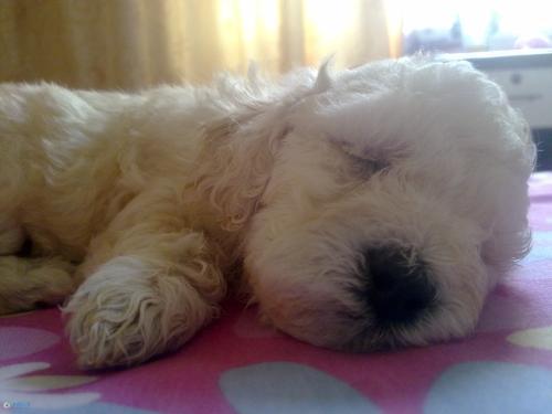 狗狗睡觉姿势 侧睡